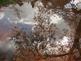 cherry-trees-reflected