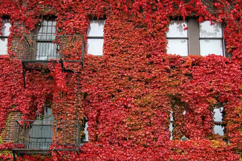 ivy-red-wall